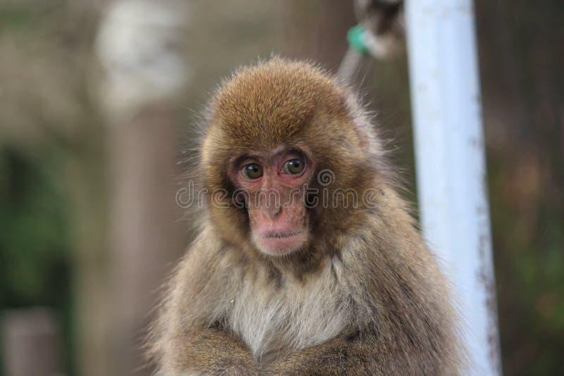 En japansk macaque på den Takasaki apan parkerar, Beppu, Oita, Japan royaltyfria foton