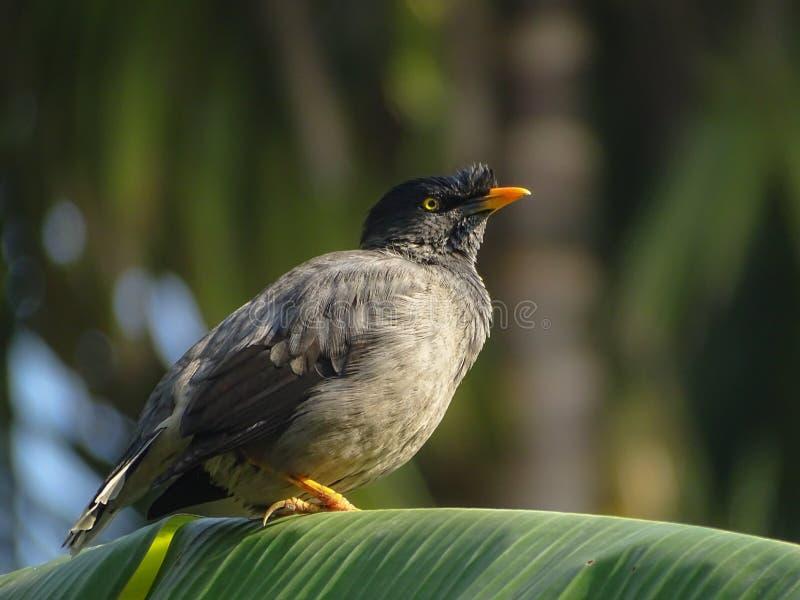 en javan mynafågel i morgonen royaltyfri bild