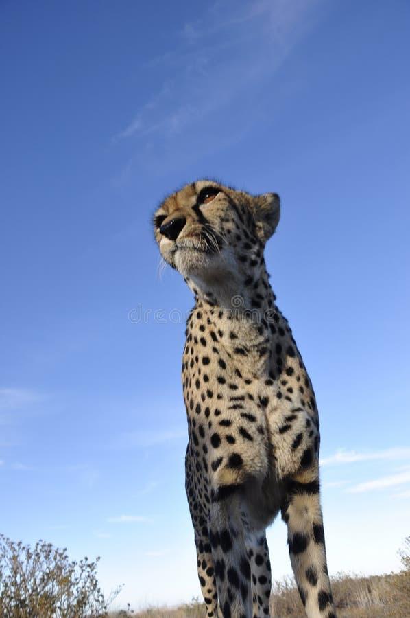 En jeetha i den namibian Kalaharien royaltyfri foto