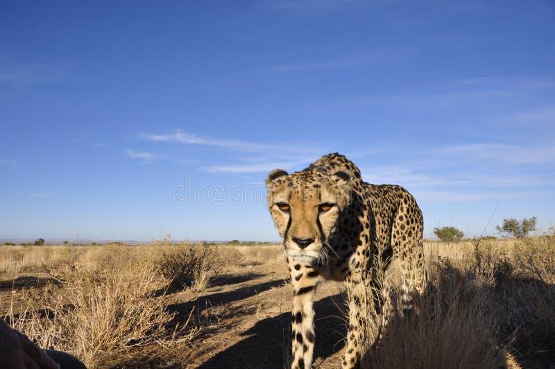 En Jeetha i den namibian Kalaharien som nästan kommer dig fotografering för bildbyråer