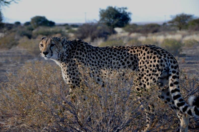 En Jeetha som går till och med den namibian Kalaharien arkivfoto