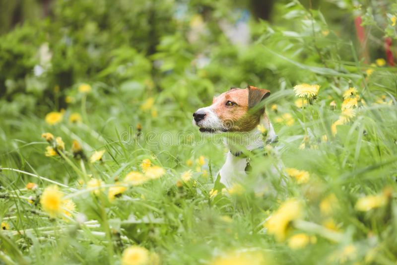 En jouant Jack Russell Terrier poursuivez le regard de l'herbe verte de ressort et des fleurs jaunes de pissenlit photos stock