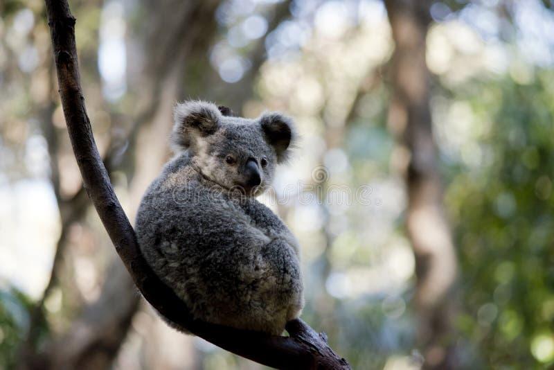 En känguruunge koala arkivbild