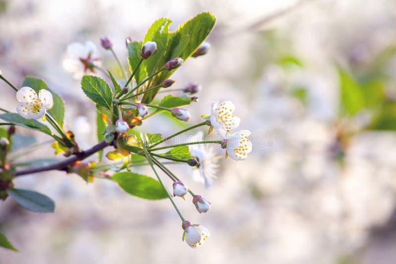 En körsbärsröd blomning kli arkivbilder