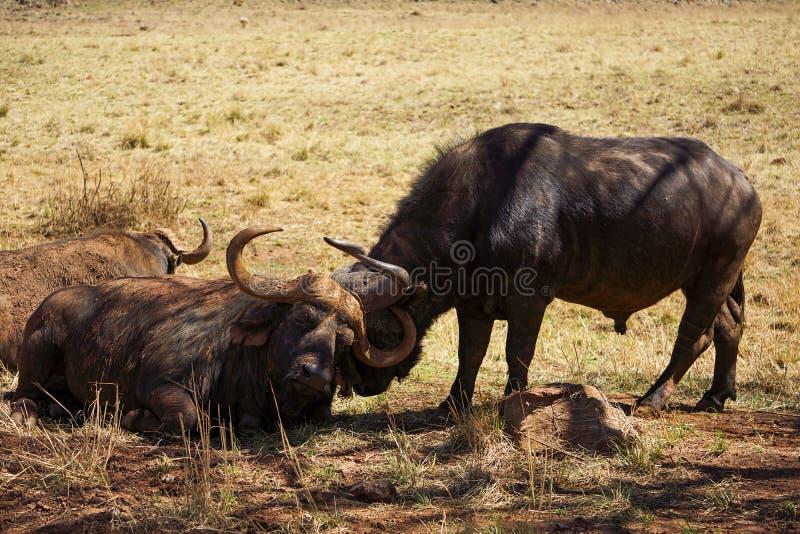 En kaapbuffels die rusten verzorgen stock afbeelding