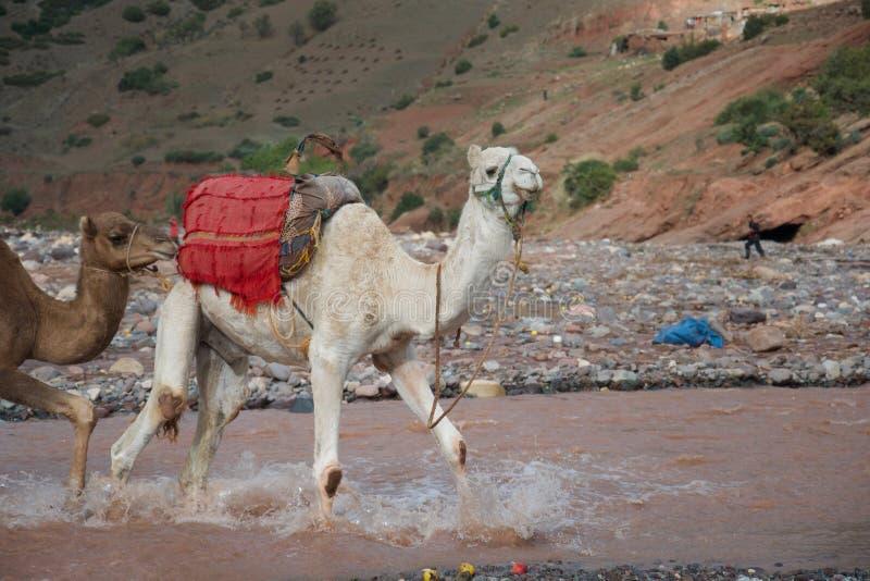En kamel vadar över en flod royaltyfri foto