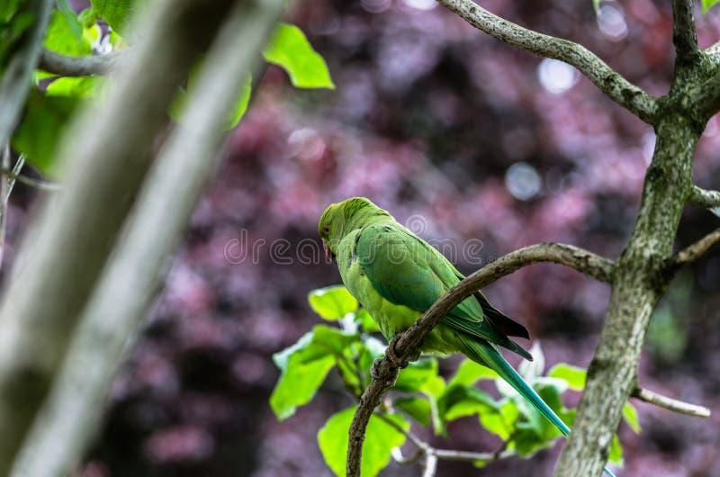 En kamouflerad parakiter som sätta sig på en fatta arkivfoton