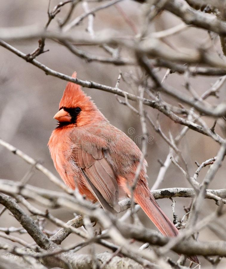 En kardinal i ett träd arkivbild
