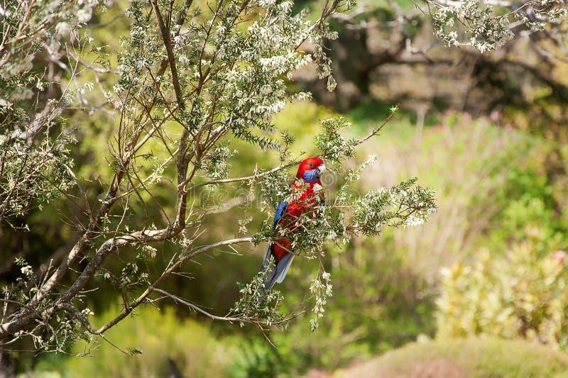 En karmosinröda Rosella på den monteringsTomah botaniska trädgården, Australien arkivfoto