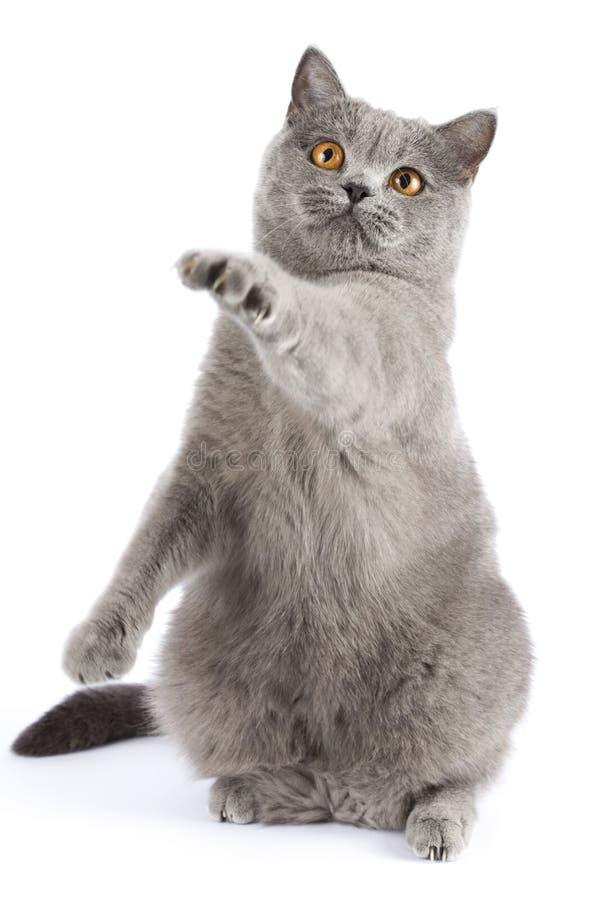 En katt av den brittiska aveln fångar ett imaginärt rov royaltyfria foton