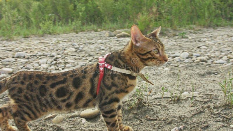 En katt bengal går på det gröna gräset Bengal pott lär att promenera för leopardkatten för skogen de asiatiska försöken att dölja royaltyfria foton