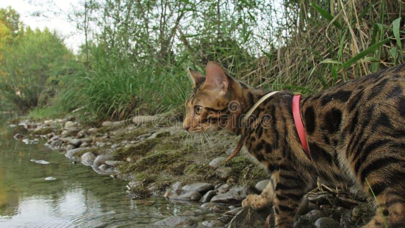 En katt bengal går på det gröna gräset Bengal pott lär att promenera för leopardkatten för skogen de asiatiska försöken att dölja arkivbild
