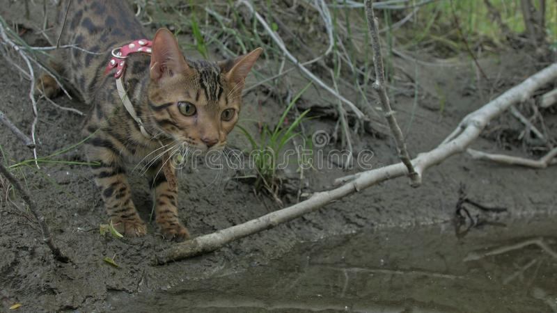 En katt bengal går på det gröna gräset Bengal pott lär att promenera för leopardkatten för skogen de asiatiska försöken att dölja arkivfoto