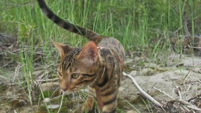 En katt bengal går på det gröna gräset Bengal pott lär att promenera för leopardkatten för skogen de asiatiska försöken att dölja fotografering för bildbyråer