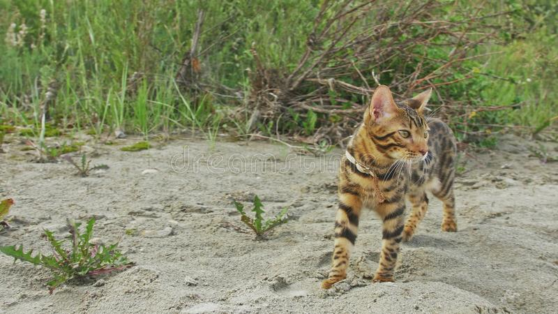 En katt bengal går på det gröna gräset Bengal pott lär att promenera för leopardkatten för skogen de asiatiska försöken att dölja royaltyfri fotografi