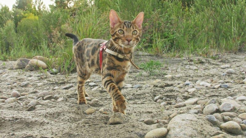 En katt bengal går på det gröna gräset Bengal pott lär att promenera för leopardkatten för skogen de asiatiska försöken att dölja royaltyfria bilder
