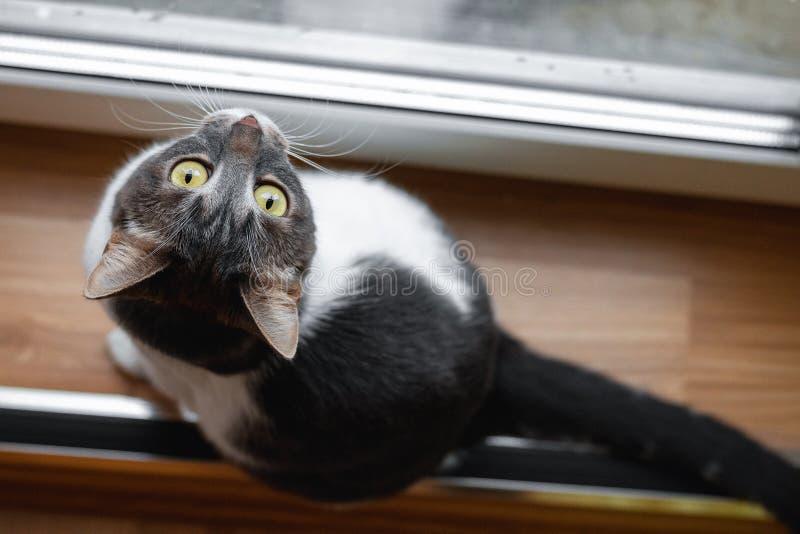 En katt sitter nära fönstret och ser nyfiket upp Top besk?dar royaltyfria foton