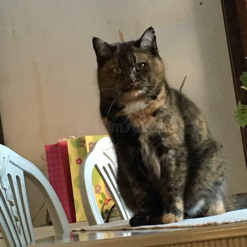 En katt som sitter på en tabell royaltyfria foton