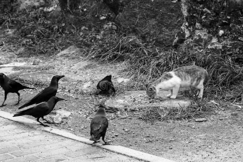 En katt vid waysiden äter Gal korpsvart runt om katten arkivfoton