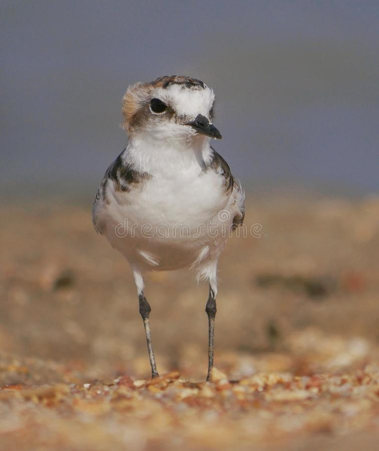 En Kentish brockfågel & x28; Charadriusalexandrinus& x29; royaltyfri bild