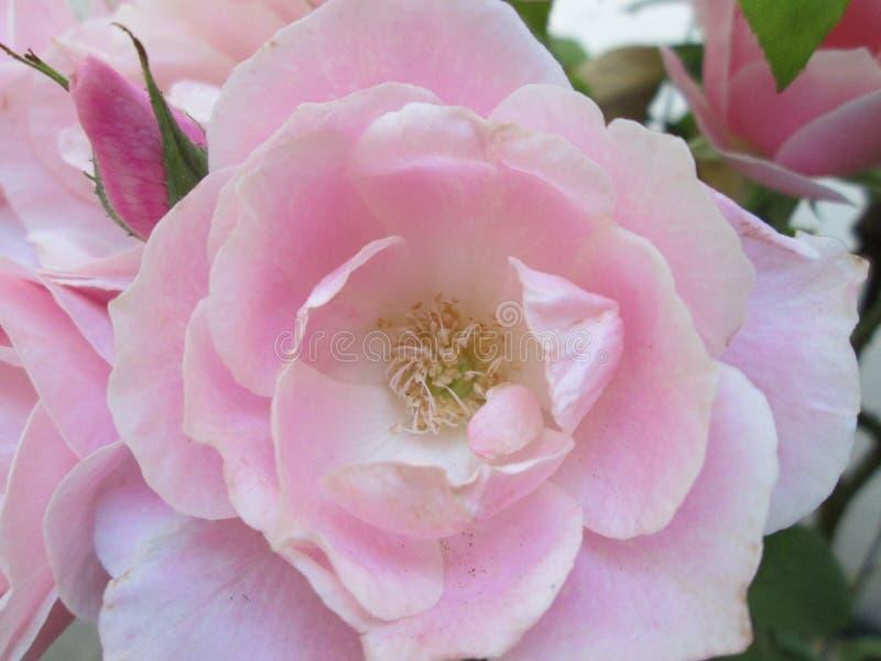 En klunga av rosa rosor fotografering för bildbyråer
