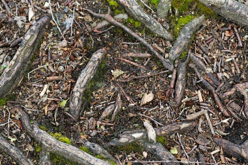 En klyftig plexus av trä rotar i skogen royaltyfria foton