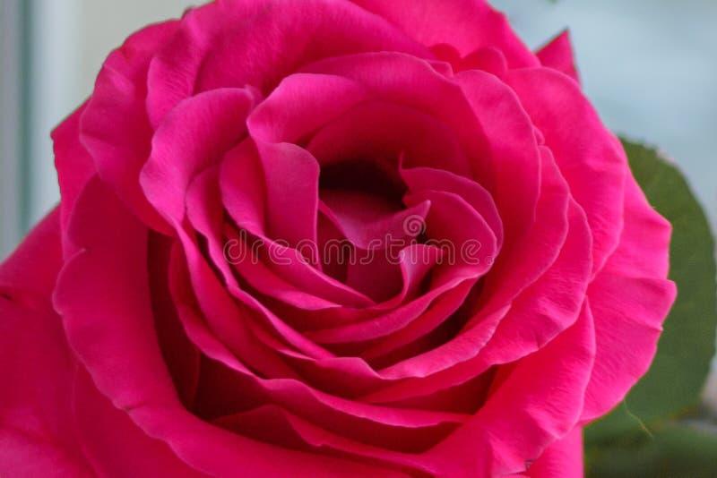 En knopp av en mjuk rosa f?rg steg p? en suddig bakgrund fotografering för bildbyråer