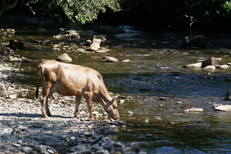 En ko dricker vatten från en bergflod arkivbild