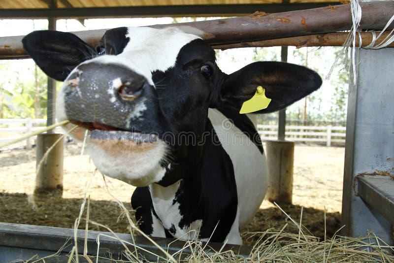 En ko i stall arkivfoto