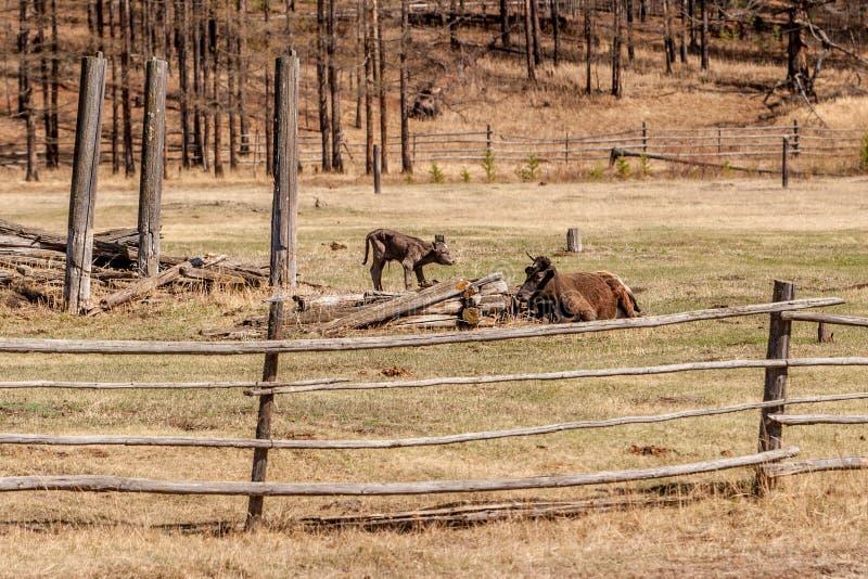 En ko med en kalv på fältet bak ett trästaket royaltyfria bilder