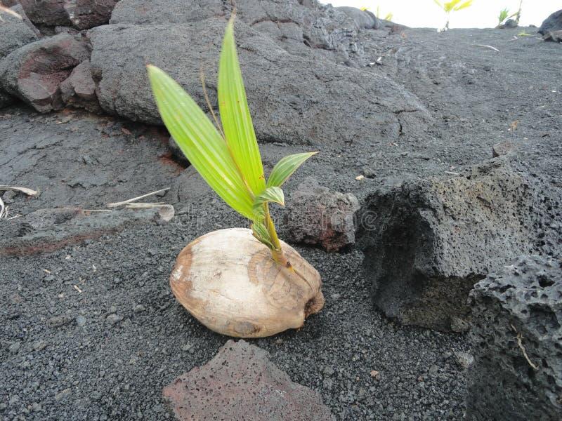 En kokosnöt som växer på ett kylt lavaflöde på den stora ön av Hawaii arkivfoton