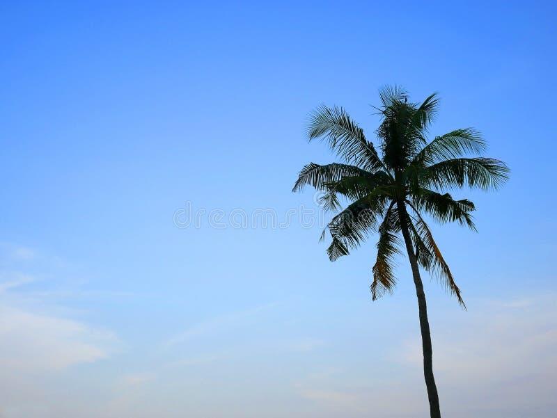 En kokospalm med blå himmel royaltyfri foto