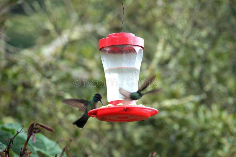 En kolibri matar från förlagemataren, medan annan flyger in mot den royaltyfri bild