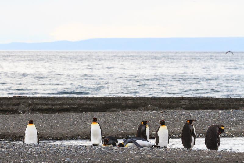 En koloni av konungen Penguins, Aptenodytespatagonicus som vilar på stranden på Parque Pinguino Rey, Tierra del Fuego Patagonia royaltyfri fotografi