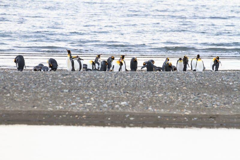 En koloni av konungen Penguins, Aptenodytespatagonicus som vilar på stranden på Parque Pinguino Rey, Tierra del Fuego Patagonia arkivbild