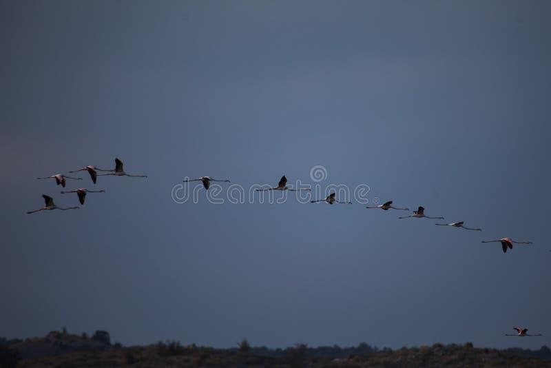 En koloni av större flamingo som flyger i en modell fotografering för bildbyråer