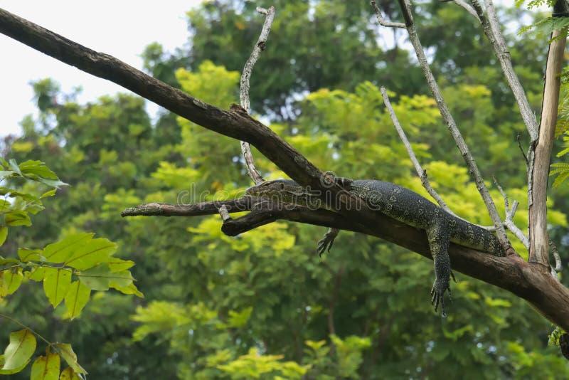 En konstig, ovanlig och något alarmerande sikt av en stor bildskärmödla, högt upp i ett träd royaltyfri foto