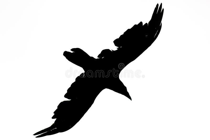 En kontur av ett svart galandefågelflyg mot en vit isola royaltyfri fotografi