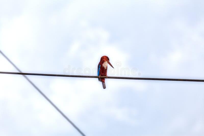 En konung Fisher, en tropisk fågel, sitter på en kraftledning arkivbild
