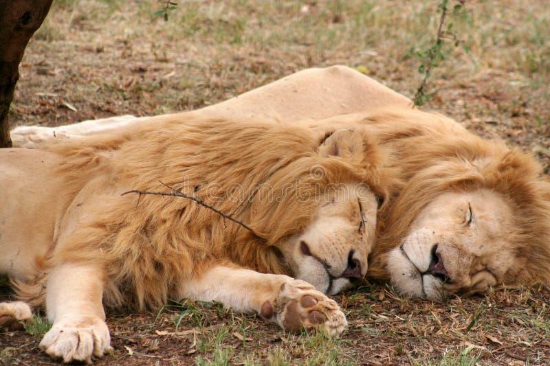 Sova för Lion royaltyfria bilder