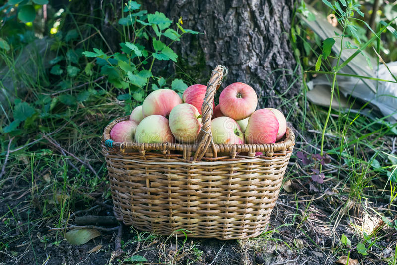 En korg av trädgårds- äpplen i trädgården royaltyfri foto
