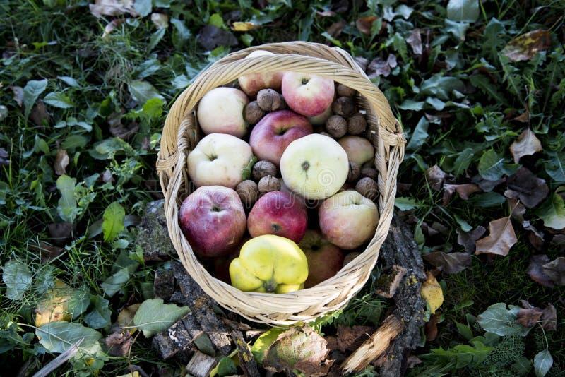 En korg mycket av äpplen, kvitten, valnötter, druvor arkivbilder