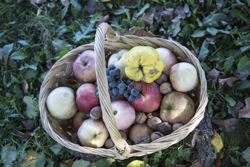 En korg mycket av äpplen, kvitten, valnötter, druvor royaltyfria foton