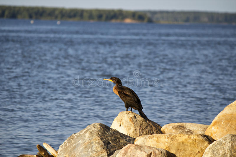 En kormoranseabird arkivfoto