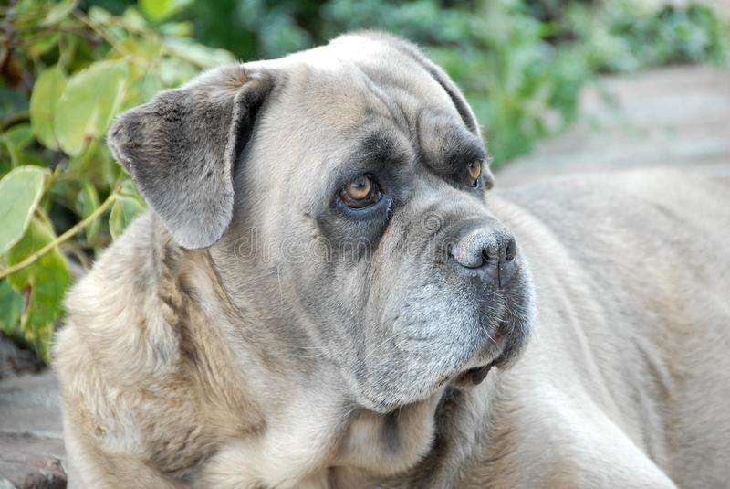 En korsikansk hund vilar fotografering för bildbyråer