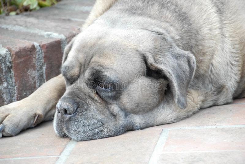 En korsikansk hund vilar arkivbild