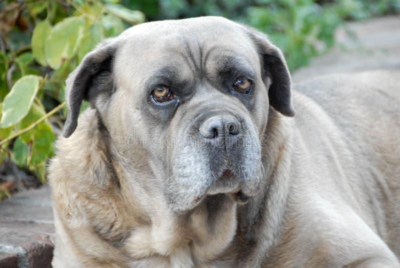 En korsikansk hund vilar arkivfoton