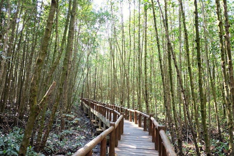 En krökt träbro in i mangroveskogen med solljus royaltyfri bild
