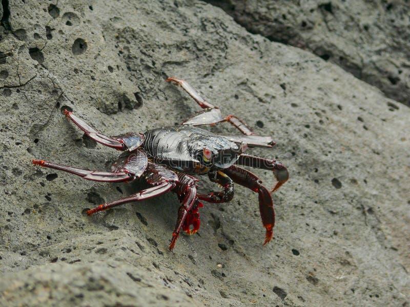 En krabba för sallyljusfot fotografering för bildbyråer