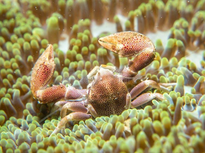 En krabba som bor med en anemon royaltyfri fotografi